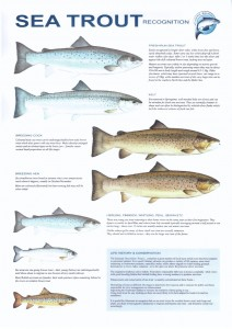 Sea Trout Recognition Chart courtesy of Robin Ade
